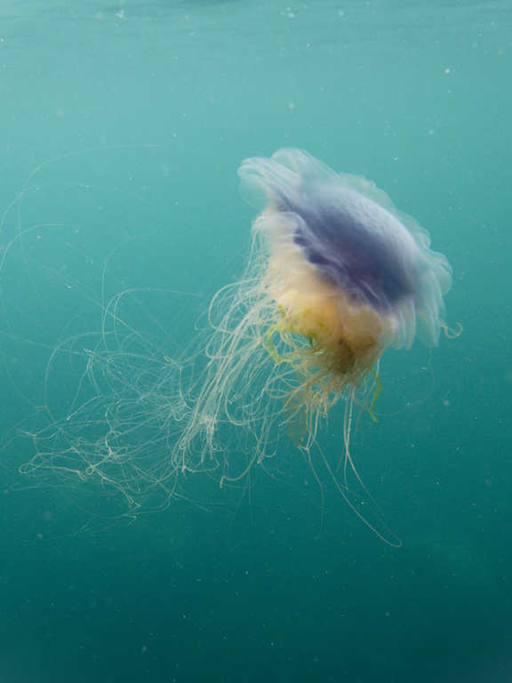 Blue Jellyfish in Cardigan Bay