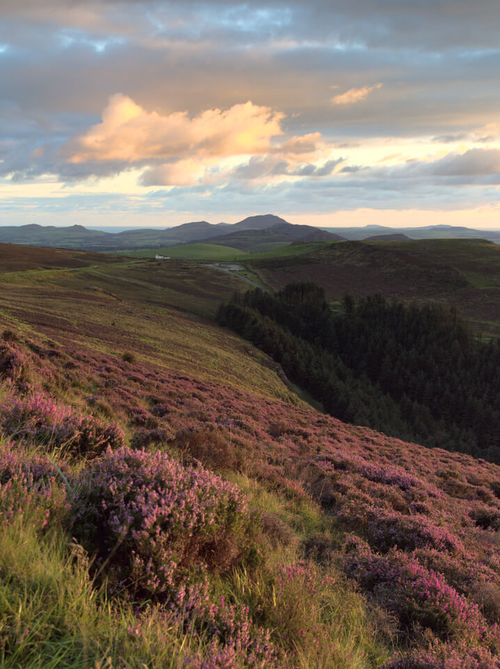 Heather on the Mountainside Looking Over the Llyn Peninsula as the Sun Sets