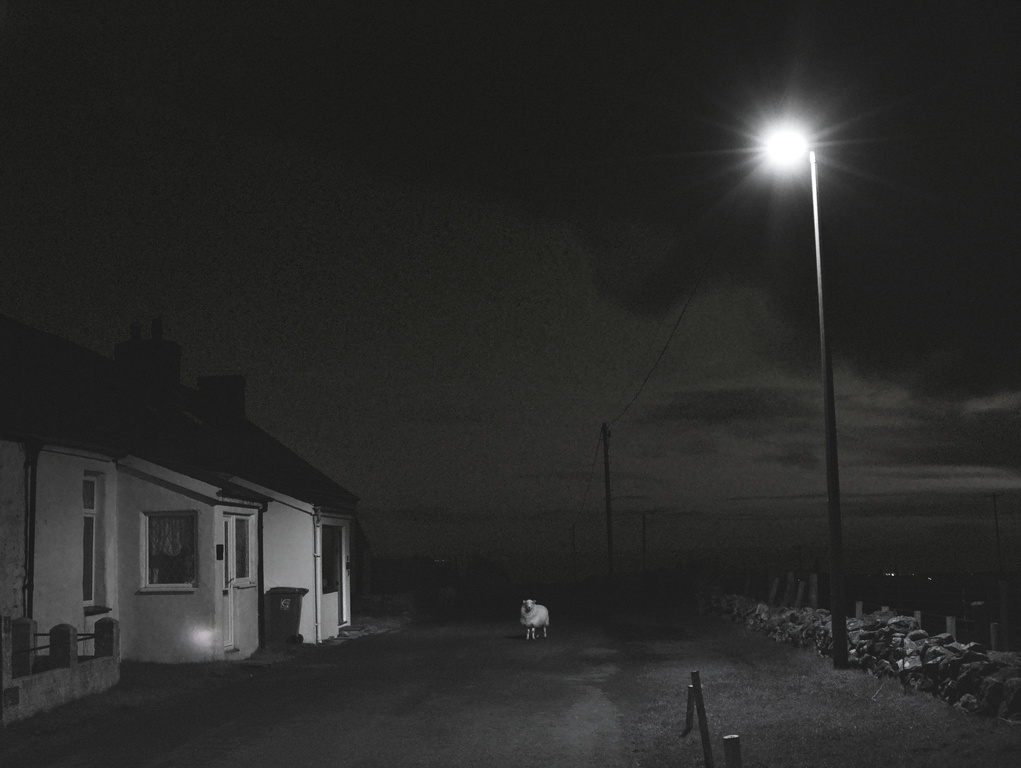 Welsh Sheep Lit By Streetlight In The Road